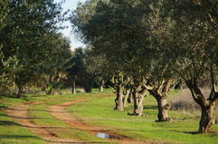 Olive trees Stock Photography