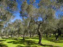 Olive trees. At Southern Italy Stock Photography