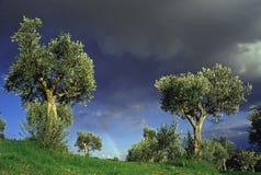 olive trees Royaltyfri Bild