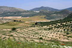 Olive trees. Landscape in andalousia Royalty Free Stock Photography