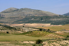Olive trees. Landscape in andalousia Royalty Free Stock Images