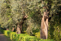 Olive trees Stock Photos