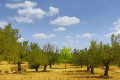 Olive trees. Olives colture in Tunisia, group of olives trees Royalty Free Stock Photography