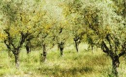 Olive trees Royaltyfri Foto