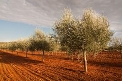 The olive trees Royalty Free Stock Photography