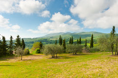 Olive Trees Stock Fotografie