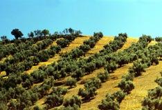 olive trees Arkivbilder