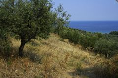 Olive trees. On hill in greece Stock Images