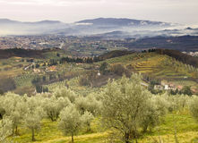 Olive trees. Tuscan landscape with olive trees and city of Pistoia in background Royalty Free Stock Photography