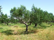 Olive trees. In summertime. Croatia stock photos