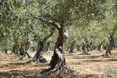 Olive trees. Some olive trees in summer royalty free stock photo