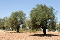 Olive trees Royalty Free Stock Image