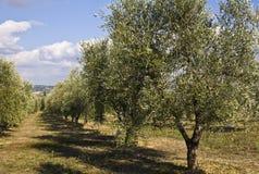 olive trees Στοκ Φωτογραφίες
