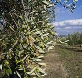 olive trees Στοκ εικόνα με δικαίωμα ελεύθερης χρήσης