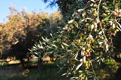 Olive trees. Olive grove full of olives Royalty Free Stock Photo