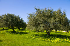 Olive trees. Olive grove in the island of Crete Greece Royalty Free Stock Image