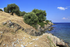 Olive trees on the Aegean coast. Royalty Free Stock Images