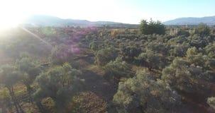 Olive Trees Aerial Footage antes de la puesta del sol almacen de metraje de vídeo