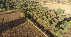 Olive Trees Aerial Tracking arkivfilmer