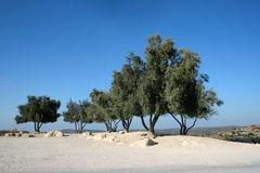Olive Trees Against Blue Sky Royalty Free Stock Photography