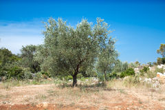 Olive trees against blue sky Stock Image