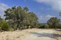 Olive trees along country road Royalty Free Stock Image