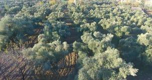 Olive Trees Anatolia Aerial Footage almacen de metraje de vídeo