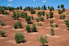 Olive Trees in Andalucia, Spain Stock Images