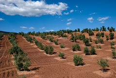 Olive Trees in Andalusia, Spain. Rows of Olive Trees in Andalusia, Spain, against blue sky Royalty Free Stock Photos