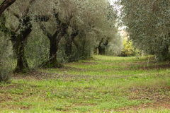 Olive trees in autumn Stock Image