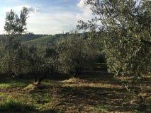 Olive Trees av den härliga Tuscanyen arkivfoton