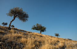 Olive trees and blue clear sky Royalty Free Stock Image