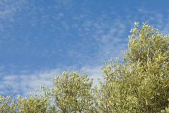 Olive trees with a blue sky & small clouds Royalty Free Stock Image