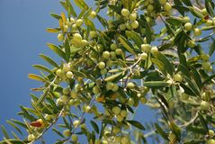 Olive Trees branch Stock Image