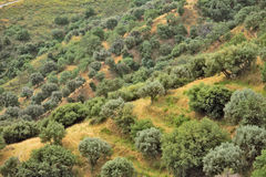 Olive trees in Calabria. Calabria landscape in summer, aerial view Royalty Free Stock Images