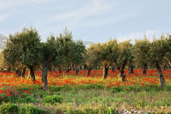 Olive trees on a carpet of poppies Stock Photo