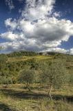 Olive trees. In chianti, in a cloudy day Stock Image