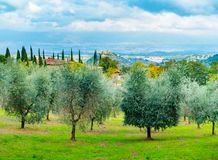Olive trees in Chianti. Overlooking Montaio, Cavrglia and Valdarno in autumn, Tuscany, Italy stock image