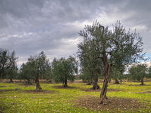 Olive trees in a cloudy day. stock photos
