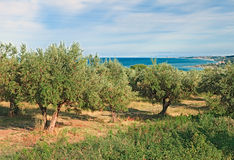 Olive trees on the coast of sea in Chieti, Abruzzo, Italy Stock Image