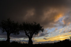 Olive trees and colorful sky Royalty Free Stock Photos