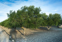 Olive trees colture Stock Image
