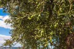 Olive Trees, con las aceitunas en las ramas, fondo de la naturaleza Imagen de archivo libre de regalías