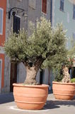 Olive trees in containers Royalty Free Stock Image