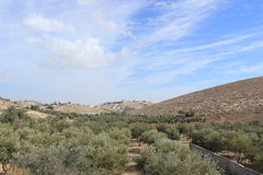Olive trees in the countryside outside of Bethlehem Royalty Free Stock Images
