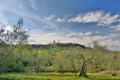 Olive trees cultivation. San Gimignano. Tuscany. Italy Royalty Free Stock Photo