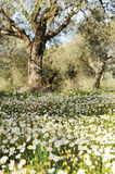 Olive trees in a daisy field Royalty Free Stock Photography
