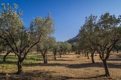 Olive Trees in de Tuin in Rhodes Greece Royalty-vrije Stock Foto's
