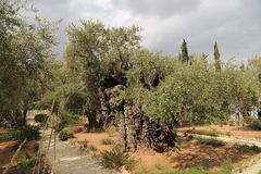 Olive trees in Dominus Flevit Church Stock Photo