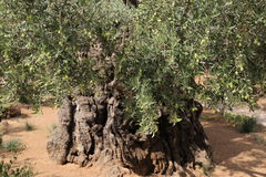 Olive trees in Dominus Flevit Church Royalty Free Stock Photo